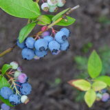 Blueberries Dwarf Shrubs With Ripe Fruits Cultivated In Garden Stock Photography