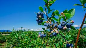 Blueberries farm in Burlington, Washington Royalty Free Stock Images