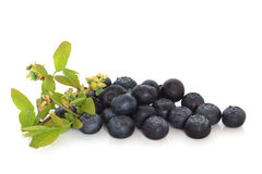 Blueberries and Flower Sprig Royalty Free Stock Image