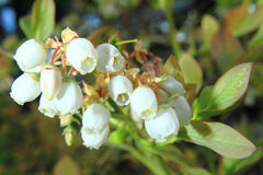 Blueberries flowers Royalty Free Stock Photo