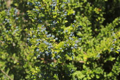 Blueberries in the forest. Bush blueberry in the forest Royalty Free Stock Photos