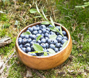 Blueberries in the Forest Grass Stock Images