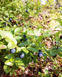 Blueberries in the Forest 2 royalty free stock images