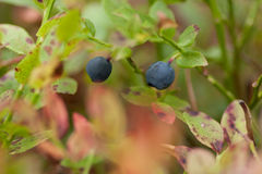 Blueberries in a forest Royalty Free Stock Photo