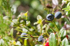 Blueberries in a forest Royalty Free Stock Photography