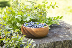 Blueberries in the Forest Summer Light Stock Photos