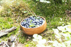 Blueberries in the Forest Summer Light Stock Photography