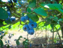 Blueberries. Fresh blueberries on the bush. close up Royalty Free Stock Photos