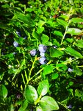 Blueberries. Fresh blueberries in the forest Stock Photography