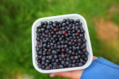 Blueberries freshly picked in the forest Royalty Free Stock Photo