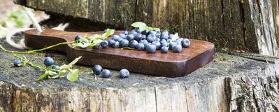 Blueberries Freshly Picked from the Forest Royalty Free Stock Photography