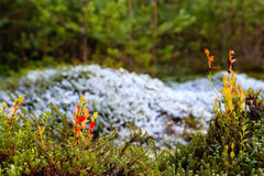 Blueberries and frost. Blueberry plants with snow background Royalty Free Stock Photography
