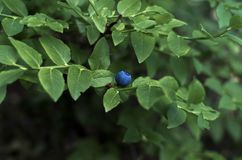 Blueberries with green leaves stock photo