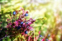 Blueberries grow in the forest Royalty Free Stock Photography