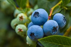 Free Blueberries Growing On Bush In A Field Royalty Free Stock Images - 156486349