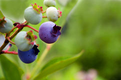 Blueberries growing on the vine Royalty Free Stock Photo