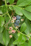Blueberries growing in the wild Stock Images