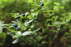 Blueberries grows in the forest, ripe blueberries Stock Image