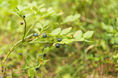 Blueberries grows in the forest, ripe blueberries Royalty Free Stock Image