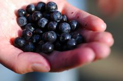 Blueberries on hand Stock Images