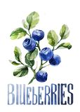 Blueberries. Hand drawing watercolor on white background with title. vector illustration