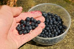 Blueberries in hand Stock Image