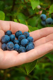 Blueberries in Hand royalty free stock photos