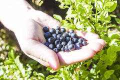 Blueberries on a hand Royalty Free Stock Photos