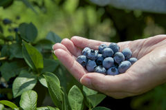 Blueberries in hand Royalty Free Stock Image