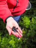 Blueberries on hand Stock Image