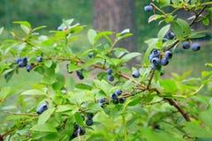 Blueberries at home garden Stock Photos