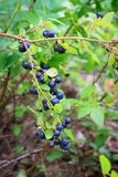 Blueberries at home garden Royalty Free Stock Photos