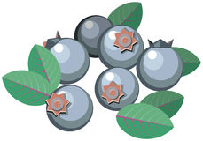 Blueberries with leaves. Illustration of blueberries with leaves Royalty Free Stock Images