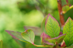 Blueberries leaves on a branch in garden, summer healthy fruit Royalty Free Stock Images