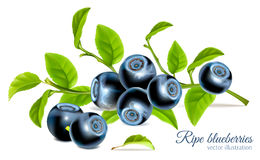 Blueberries with leaves stock illustration