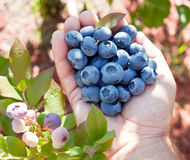 Blueberries in the man's hands. Royalty Free Stock Images