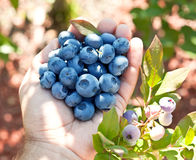 Blueberries in the man's hands. Stock Images