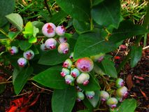 Blueberries. Nature gives us its fruits Royalty Free Stock Images