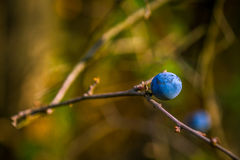 Blueberries in nature Stock Image