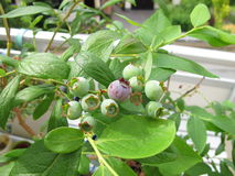 Free Blueberries On Balcony Stock Photos - 32637303