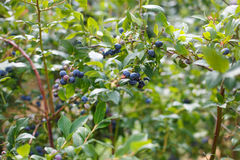 Blueberries at a pick berry farm in Germany Stock Photo