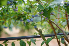 Blueberries at a pick berry farm in Germany Stock Image