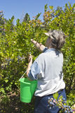 Blueberries picking time Oregon. Royalty Free Stock Image