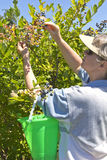 Blueberries picking time Oregon. Stock Photo