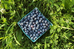 Blueberries in Pint Bucket. In grass Royalty Free Stock Photos