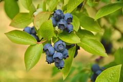 Blueberries plant Royalty Free Stock Image