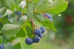 Blueberries with raindrop on leaf. Ripe blueberries on a bush with raindrop on tip of leaf Stock Image