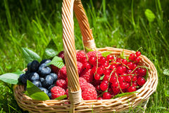 Blueberries raspberries and redcurrants. A wicker basket full of bluberries, raspberries and redcurrants Royalty Free Stock Photos