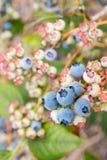 Blueberries ripening on blueberry bush Royalty Free Stock Image