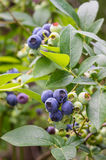 Blueberries ripening on the bush Stock Photo